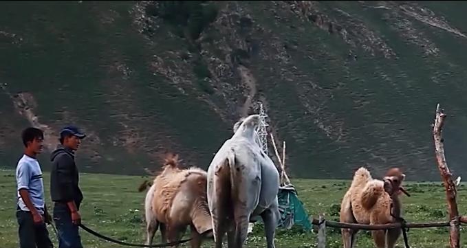柏闻一见第70期:胡志红开发新疆骆驼奶,喝出健康、帮扶牧民